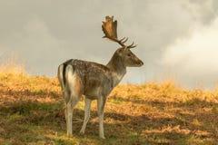 Cerfs communs affrichés dans la longue herbe images stock