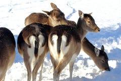 Cerfs communs affrichés dans la neige Photographie stock libre de droits