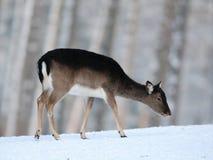 Cerfs communs affrichés dans la neige Images stock