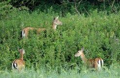 Cerfs communs affrichés dans le balai Images stock