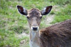 Suivez les cerfs communs photos libres de droits