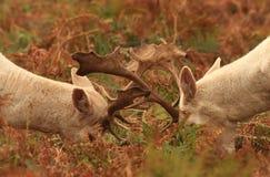 Cerfs communs affrichés dans le rut image libre de droits