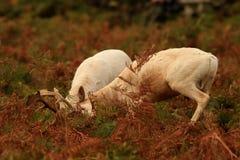 Cerfs communs affrichés dans le rut photos stock