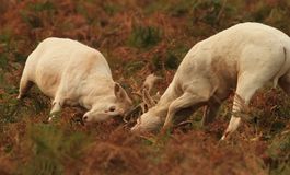 Cerfs communs affrichés dans le rut photos libres de droits