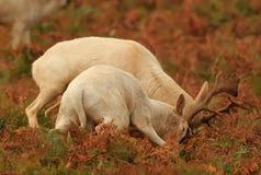 Cerfs communs affrichés dans le rut photo libre de droits