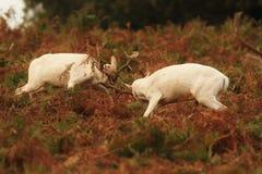 Cerfs communs affrichés dans le rut photographie stock libre de droits