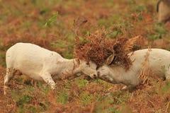 Cerfs communs affrichés dans le rut images libres de droits