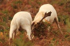 Cerfs communs affrichés dans le rut image stock