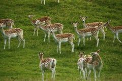 Cerfs communs affrichés dans le troupeau avec le manteau repéré d'été Photographie stock