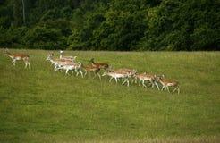 Cerfs communs affrichés dans le troupeau avec le manteau repéré d'été Images libres de droits