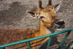 Cerfs communs affrich?s dans le zoo pr?s de la cage image stock