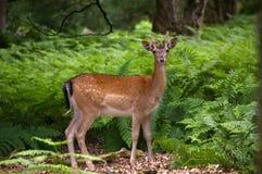 Cerfs communs affrichés dans les fougères vertes Image stock