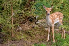 Cerfs communs affrichés de bébé dans la forêt Images stock