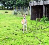 Cerfs communs affrichés de daine Photos stock