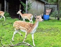 Cerfs communs affrichés de daine Images stock