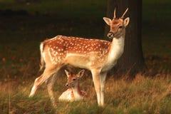 Cerfs communs affrichés de daine de mère et son veau Photographie stock