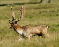 Cerfs communs affrichés de mâle marchant dans le pré Photographie stock libre de droits