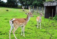 Cerfs communs affrichés de parent Photo stock
