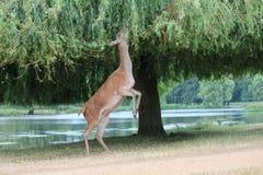 Cerfs communs affrichés de profil mangeant de l'arbre Image stock