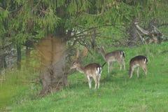 Cerfs communs affrichés de troupeau frôlant et marchant sur le pré d'herbe image libre de droits