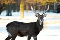 Cerfs communs affrichés en hiver image libre de droits