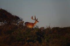 Cerfs communs affrichés en parc national photographie stock
