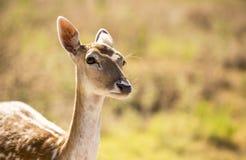 Cerfs communs affrichés femelles à l'attention Image libre de droits