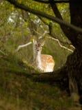 Cerfs communs affrichés femelles Images stock