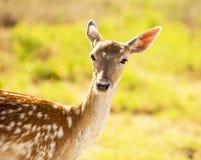 Cerfs communs affrichés femelles Photos libres de droits