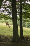 Cerfs communs affrichés frôlant au bord des cerfs communs affrichés de forêt sur le pré République Tchèque Photographie stock libre de droits