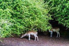 Cerfs communs affrichés frôlant sur l'herbe de ressort photos stock