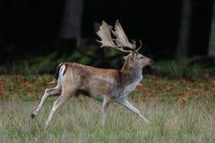 Cerfs communs affrichés, mâle affriché Photographie stock libre de droits