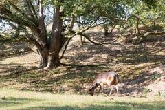 Cerfs communs affrichés mâles Images stock
