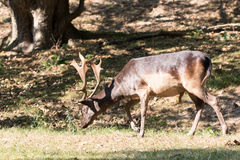 Cerfs communs affrichés mâles Photos stock