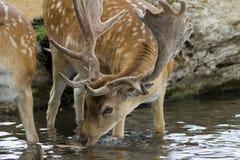 Cerfs communs affrichés mâles dans le flot Photographie stock