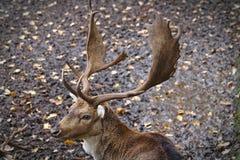 Cerfs communs affrichés masculins avec les andouillers et la boue entièrement développés et feuilles à l'arrière-plan images libres de droits