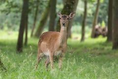 Cerfs communs affrichés regardant et ruminant Photos stock
