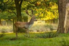 Cerfs communs affrichés repérés avec des andouillers dans la région boisée fraîche d'automne image stock