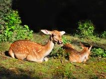 Cerfs communs affrichés rouges Photos libres de droits