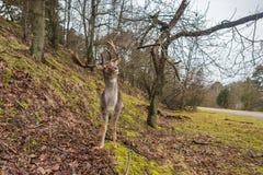 Cerfs communs affrichés soulevant sa tête et andouiller à l'arrière-plan de forêt naturelle Photos libres de droits