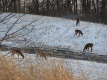 Cerfs communs alimentant dans un pré sur un winter& x27 ; jour de s photos stock