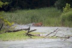 Cerfs communs alimentant sur les plantes aquatiques image stock