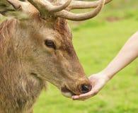 Cerfs communs alimentants humains Image stock