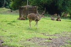 Cerfs communs animaux image libre de droits