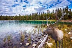 Cerfs communs antlered merveilleux sur le lac froid Image stock