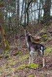 Cerfs communs atteignant jusqu'à des branches plus élevées de portée dans une forêt Images libres de droits