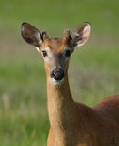 Cerfs communs attentifs Photographie stock libre de droits