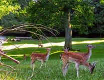 Cerfs communs au Danemark Images stock