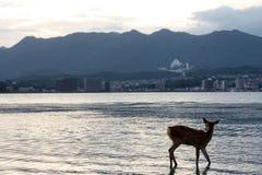 Cerfs communs au Japon Image libre de droits