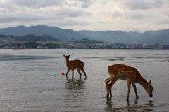 Cerfs communs au Japon Images stock